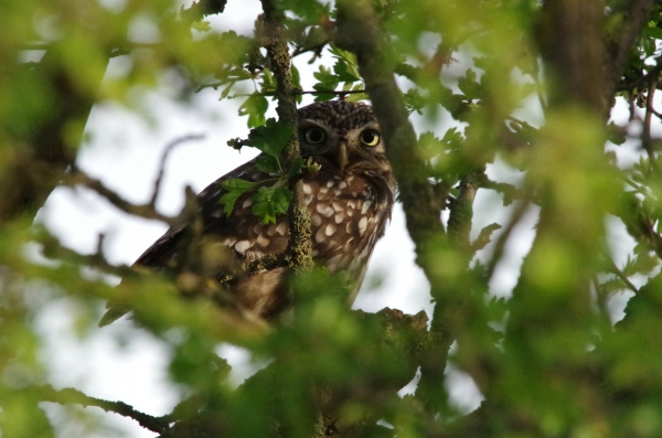 Little Owl at Boston Park © Charlotte Clayton 2014