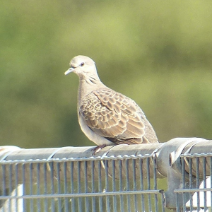 The Turtle Dove on Sand Lane, Wroot today © John Robinson 2014