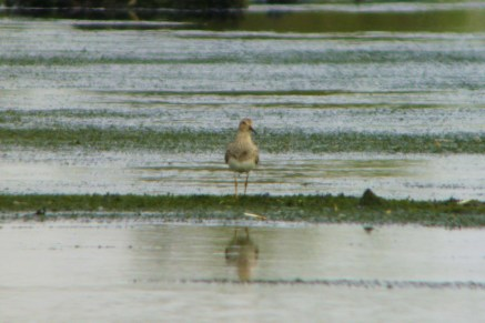 Pectoral Sandpiper on Packards today - Steve Furber