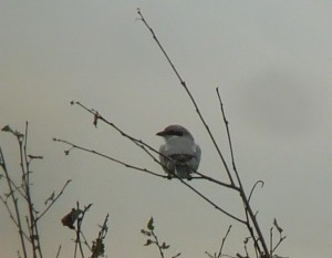 Great Grey Shrike by John Wozencroft