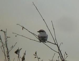 Great Grey Shrike by John Wozencroft