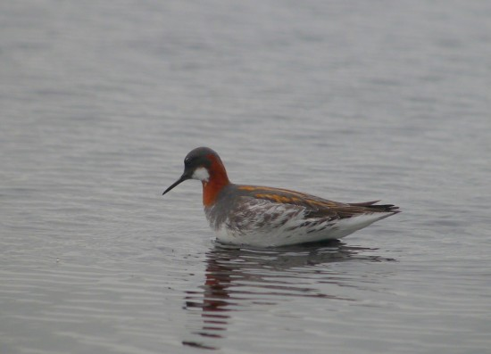 Red-necked Phalarope on Packards South © Andy Marshall 2015