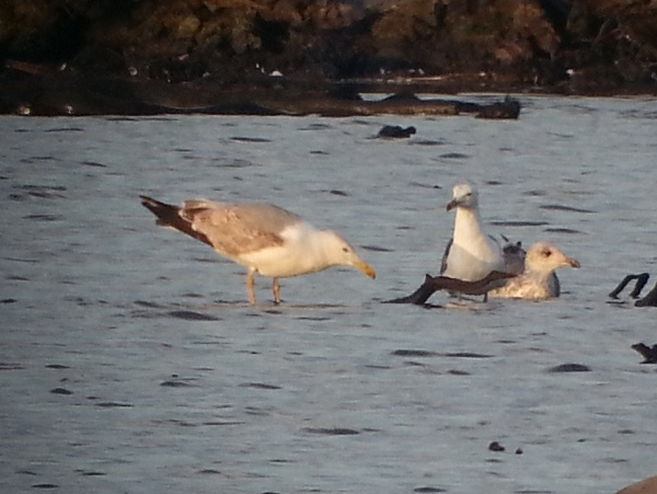 Second Summer Phonescoped Caspian Gull this evening © Chris Robinson 2015