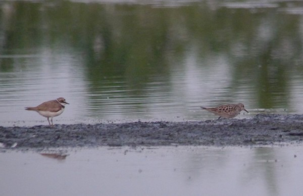 White-rumped Sandpiper on Packards South this evening  in fading light copyright Andy Marshall 2015