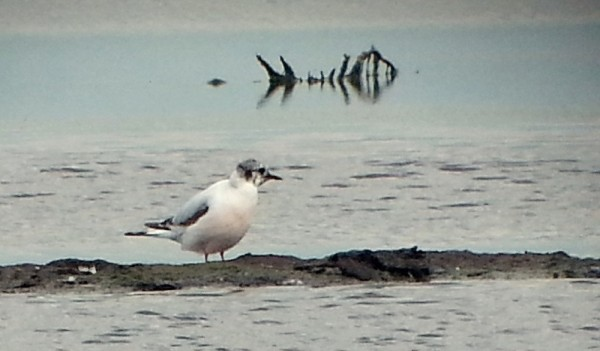 CCR 2cy LITTLE GULL on PS 22052016