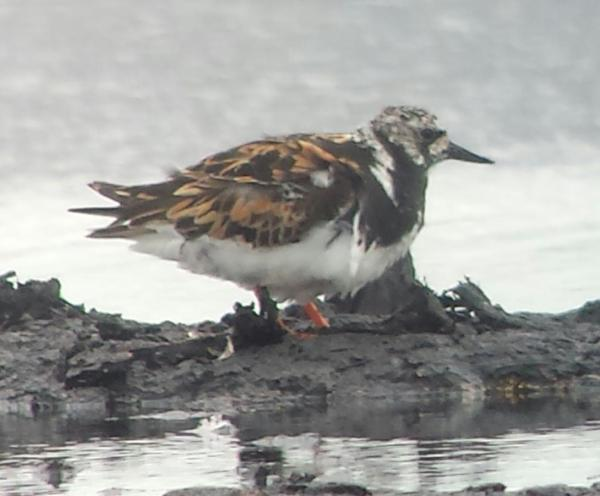 JW Turnstone on Packard's South 04082016