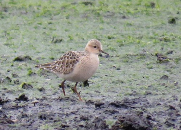 buff-breasted-sandpiper-on-hm-17092016-c-roy-harvey
