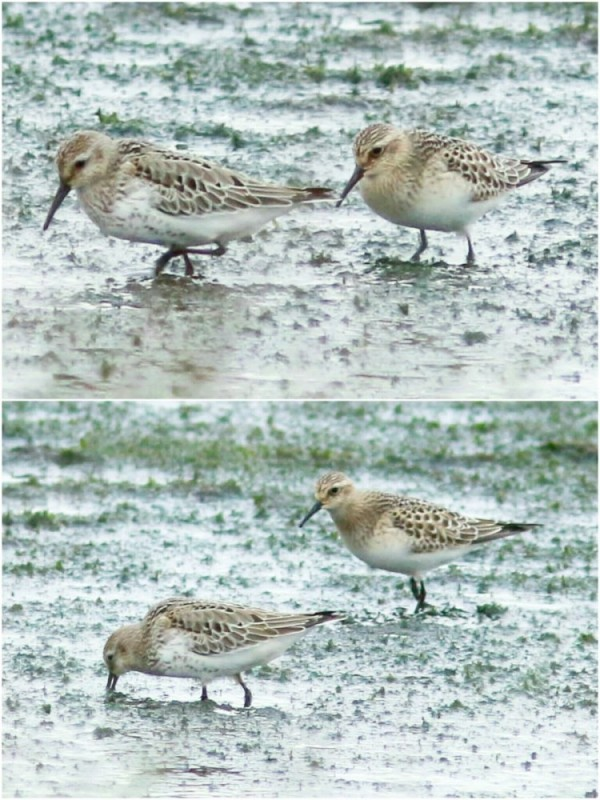 dunlin-and-bairds-sand-hm-10092016-steve-routledge