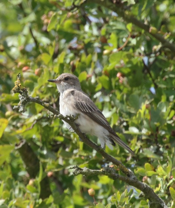 DMA Spotted Flycatcher1 Boston Park 05082017