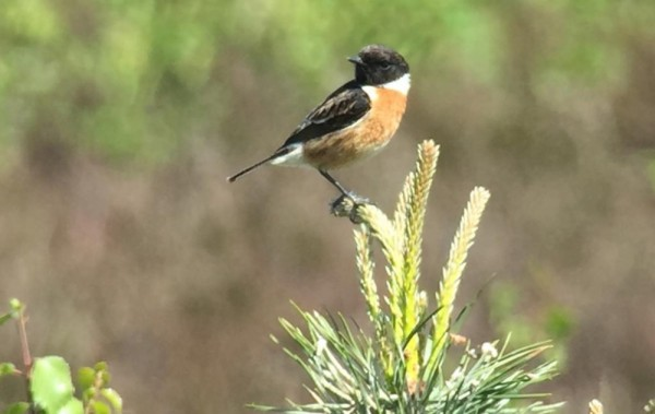 RCC Stonechat on Packards 15052019